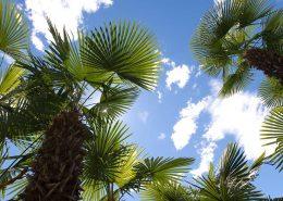 Palmen im Garten des Hotels Stella von unten