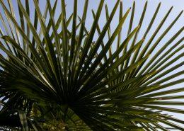 Palmenblatt im Garten des Hotels Stella